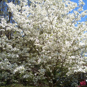 7 inexpensive landscaping trees evansville lawn landscape for Best ornamental trees for zone 7